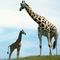 Giraffes_s