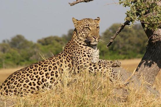 leopard_1_01