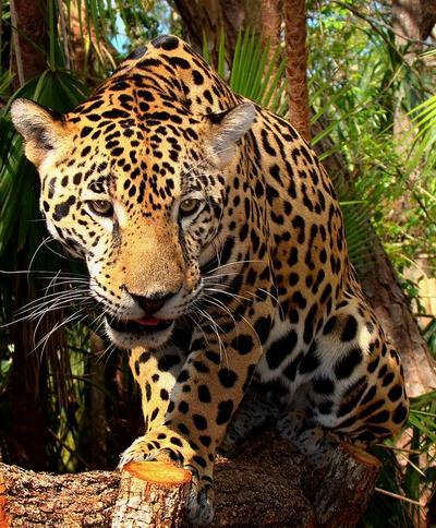 leopard_1_02