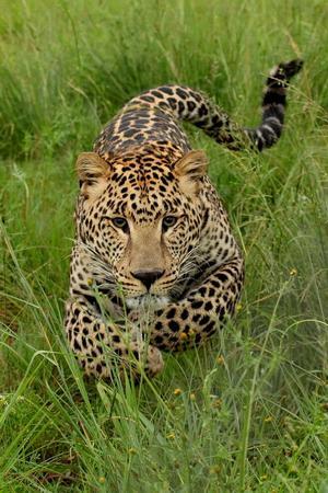 leopard_1_03