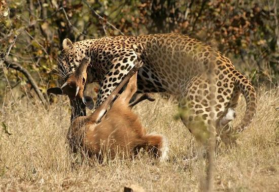 leopard_1_04