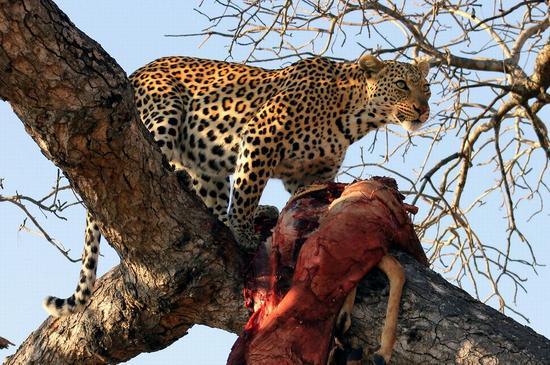 leopard_1_05