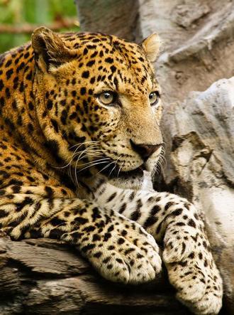leopard_2_01