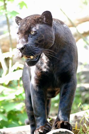 leopard_2_12