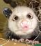 opossum_s2