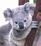 Koala_s