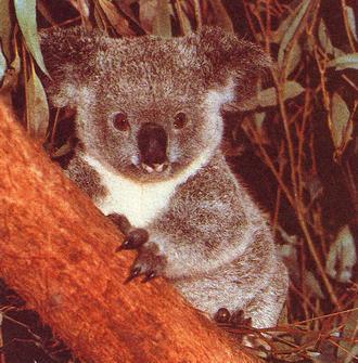 koala_02