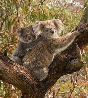 koala_03