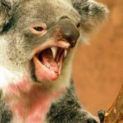koala_04