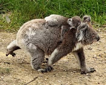 koala_05