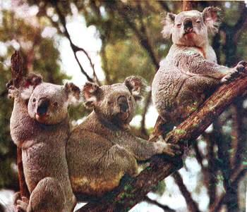 koala_06