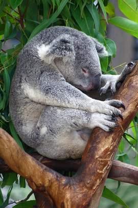 koala_08