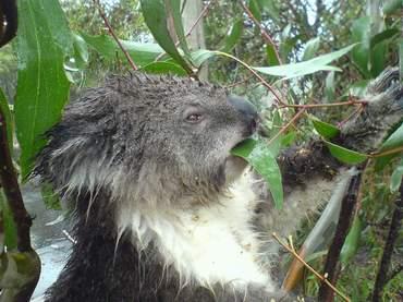 koala_09