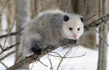 opossum_c02