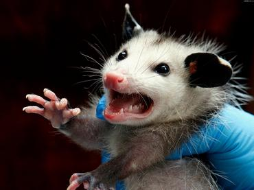 opossum_c04