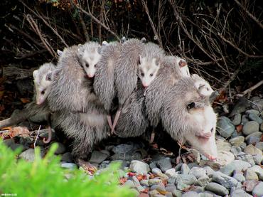 opossum_c08