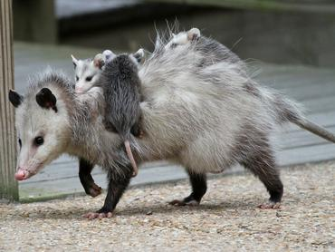 opossum_c09