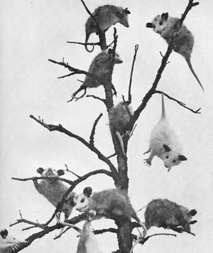opossum_c10