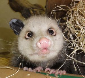 opossum_c11