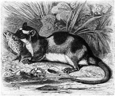opossum_c12