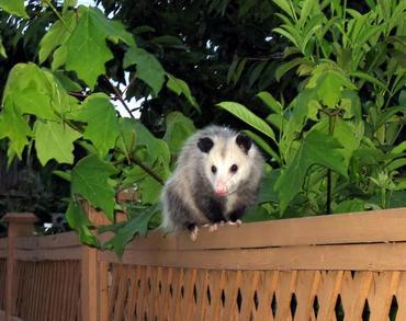 opossum_c13