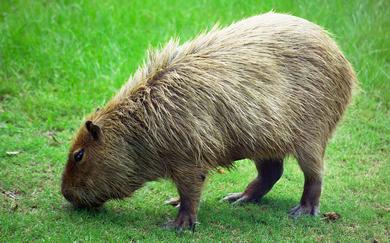 kapibara_1