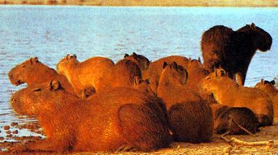 kapibara_2