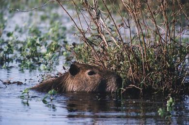 kapibara_3