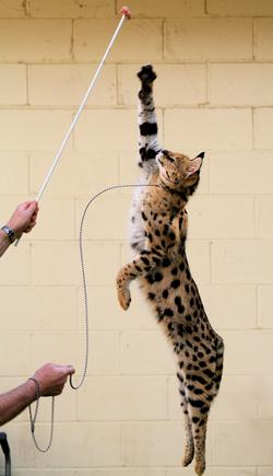 serval_02