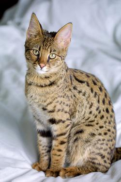 serval_04