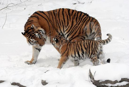 tigr_1_04