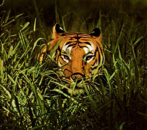tigr_1_06
