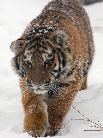 tigr_3_03