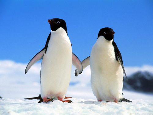 pingvin_01