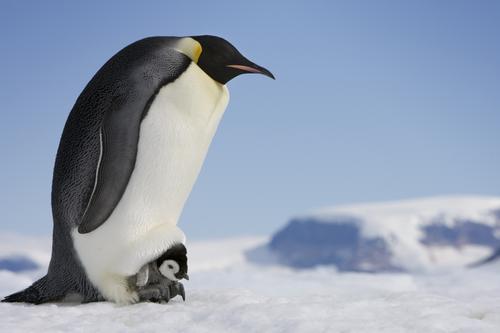 pingvin_11