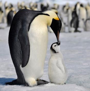 pingvin_12