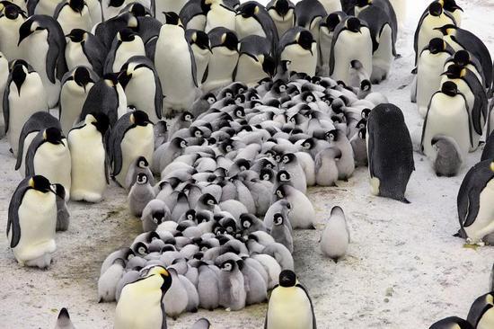 pingvin_13