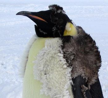 pingvin_15