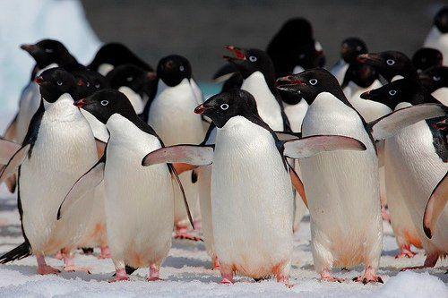 pingvin_17