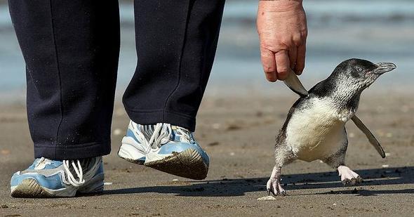pingvin_19
