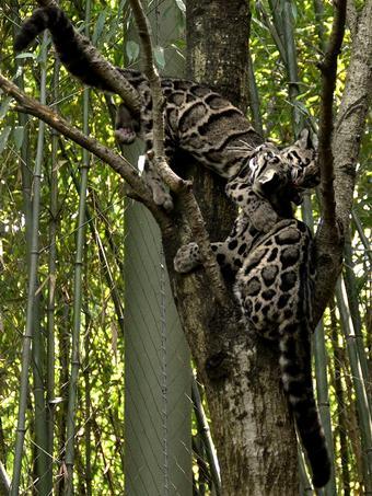 dimchatiy_leopard_02
