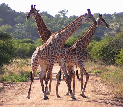 Giraffes_02