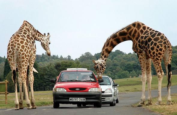 Giraffes_03