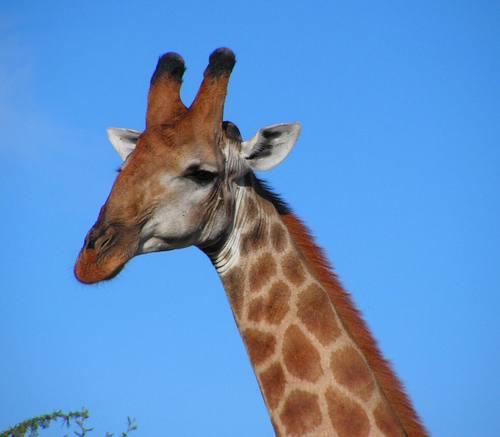 Giraffes_06
