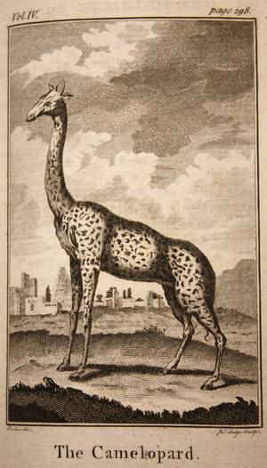 Giraffes_07