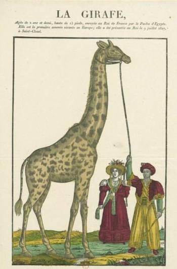 Giraffes_10
