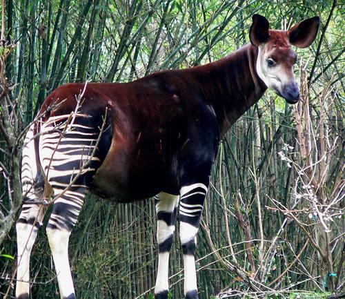 Giraffes_15