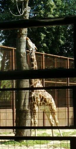 Giraffes_19a