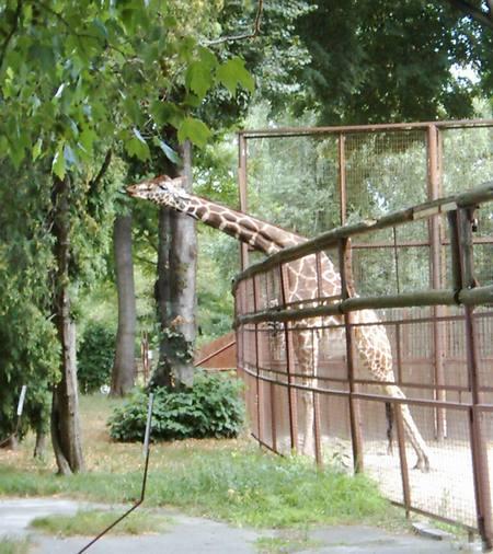 Giraffes_19b
