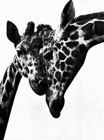 Giraffes_22